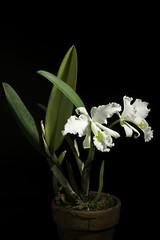 Cattleya mossiae fma. alba (wageneri) C.Parker ex Hook., Bot. Mag. 65: t. 3669 (1838)