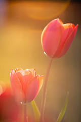 Pictures from Quarantine - Tulips at sunset