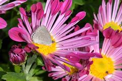 Zizina labradus Butterfly