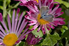 Zizina labradus Butterfly female