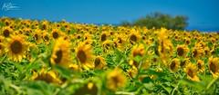 Field of Happy