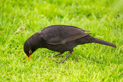 European Blackbird (adult male)-4422