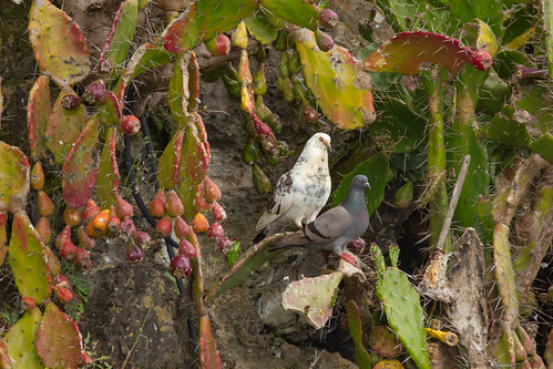 Rock pigeons and prickly pears 4436