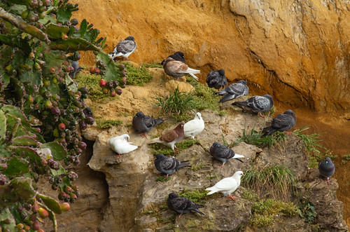 Rock pigeons and prickly pears 4433