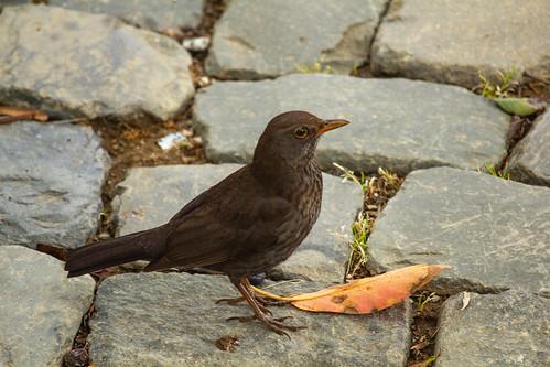 Common European Blackbird (adult female) 4425