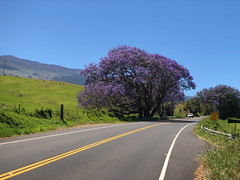 Jacaranda tree on the Haleakala Highway