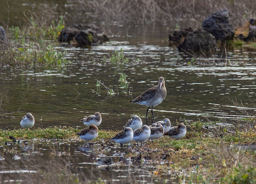 Black-tailed Godwit watching over a group of Sanderlings in the industrial zone near Praia da Vitoria