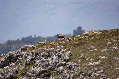 Volpe in fuga verso Rocca Calascio