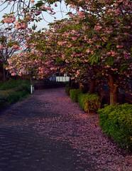 Last days of Cherry Blossom