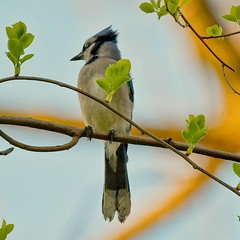 Blue Jay at Pelham Bay park
