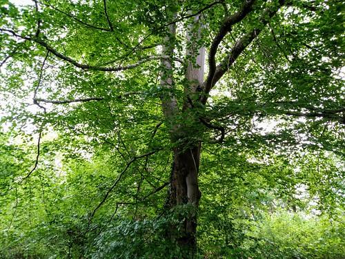 Les arbres amoureux enfeuillés