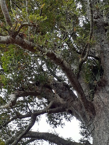 The McKinney Kauri