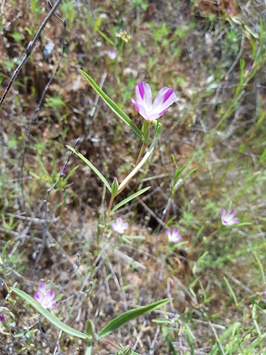 Clarkia purpurea  (Curtis) A.Nelson & J.F.Macbr. Onagraceae-winecup clarkia