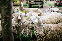 A Group of sheeps at a farm.