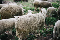 Freerange sheep eating their greens in my backyard.