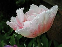 Tulip Diaries