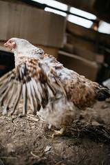 Chicken at farm closeup.