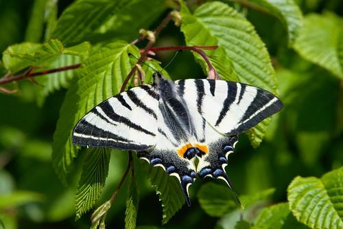 Segelfalter - Scarce swallowtail