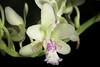 Photo:Phalaenopsis japonica '#2003' (Rchb.f.) Kocyan & Schuit., Phytotaxa 161: 67 (2014) By sunoochi
