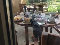 Mama squirrel enjoys brunch at the Marriott resort