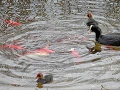 Blesshuhn füttert Goldfische