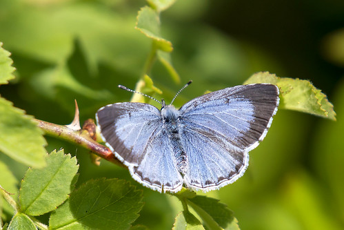 Boomblauwtje-Holly Blue (Celastrina argiolus)