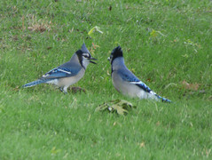 Feuding Blue Jays, Story Park, Allen, Texas, May 2, 2020