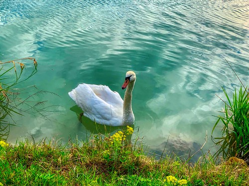 Swan on the river Inn near Kiefersfelden, Bavaria, Germany