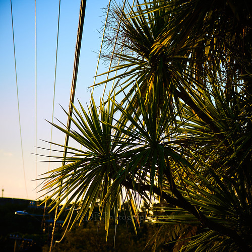 Cabbage Trees and Cables