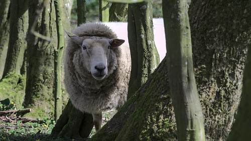 Sheep in the circle of trees (archive)