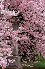 "Cincinnati - Spring Grove Cemetery & Arboretum ""Cherry Tree Envelopes Obelisk"""