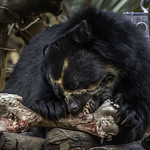 Andean Bear Turbo Gnawing on Cow Femur