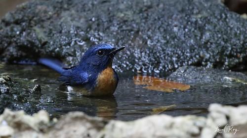 1.24894 Gobemouche à menton bleu / Cyornis rubeculoides klossi / Blue-throated Flycatcher