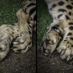 Cheetah Non-Retractable Claws