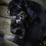 Andean Bear Alba with Cub Agapito in Her Mouth