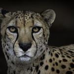 Cheetah Bakka Closeup Gaze