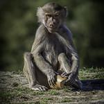 Hamadryas Baboon Juvenile