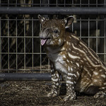 2-Week Old Baird's Tapir Calf Taiyari with Tongue Out
