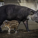 Baird's Tapir Luna with 3-Week Old Calf Taiyari