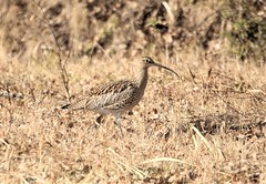 The curlew in the field