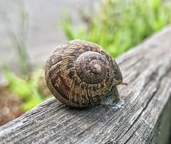 Elvish rune snail