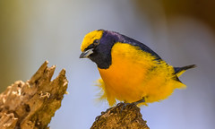 Yellow-crowned Euphonia (male)