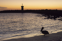 Lighthouse and Pelican in Sunset
