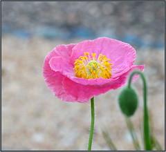 Pink Poppy Portrait