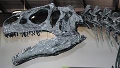 Allosaurus sp. (theropod dinosaur skull) (Morrison Formation, Upper Jurassic; Cleveland-Lloyd Dinosaur Quarry, Emery County, Utah, USA) 2