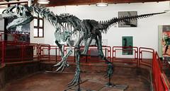 Allosaurus sp. (theropod dinosaur skeleton) (Morrison Formation, Upper Jurassic; Cleveland-Lloyd Dinosaur Quarry, Emery County, Utah, USA) 2