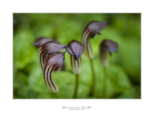 Arisarum Vulgare or Friar's Cowl