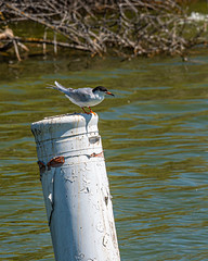 Tern on a Buoy