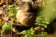 Bonding between mother and child - Mallard, Anas platyrhynchos, Gräsand