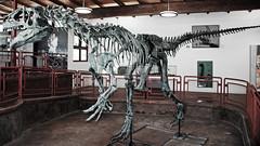 Allosaurus sp. (theropod dinosaur skeleton) (Morrison Formation, Upper Jurassic; Cleveland-Lloyd Dinosaur Quarry, Emery County, Utah, USA) 1